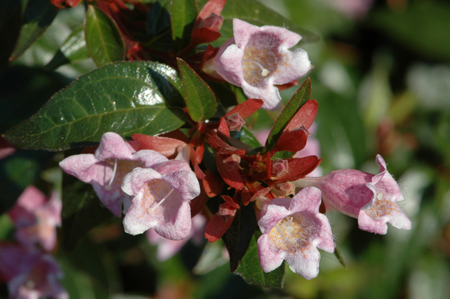 Abelia schumannii
